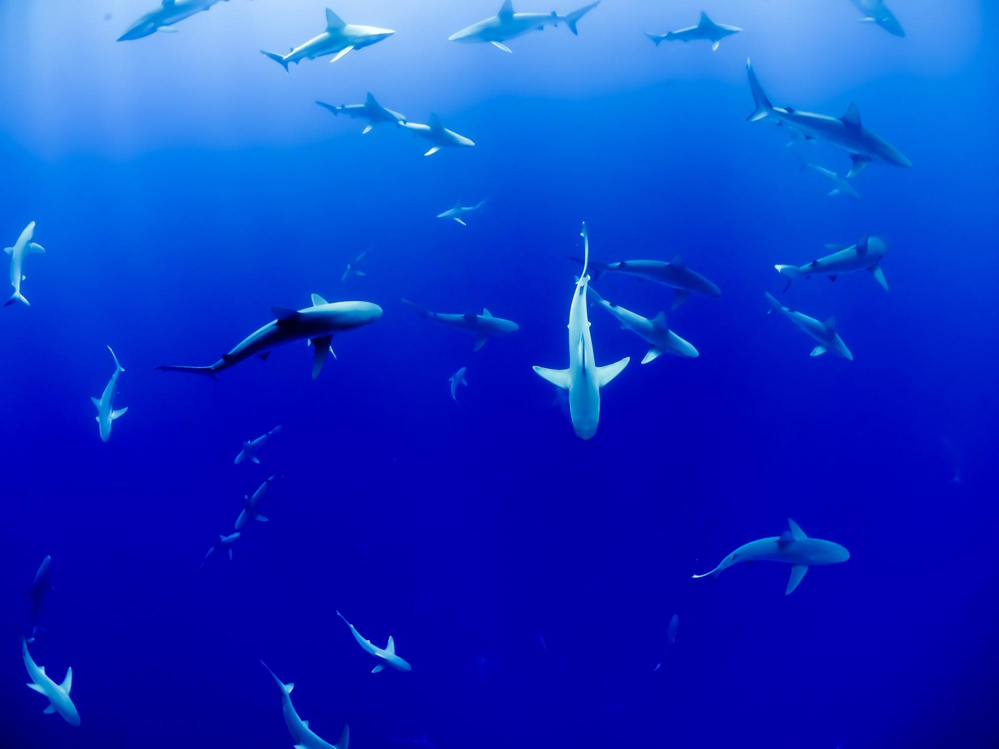 sharks punta cana